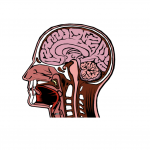 Head cross section clipart vector